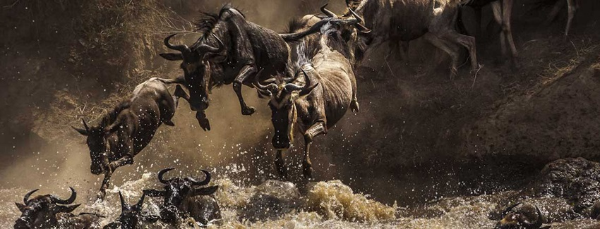 Wildebeests jumping